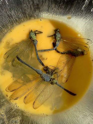 15-weird-foods-dragonfly