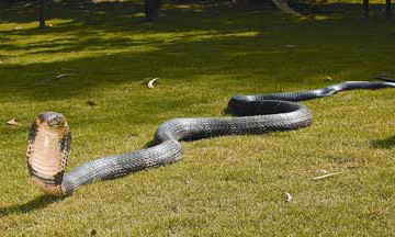 6-most-dangerous-snakes-in-india-Giant-King-Cobra