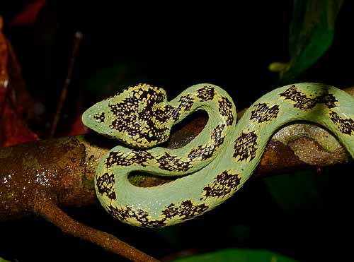 6-most-dangerous-snakes-in-india-Malabar-Pit-Viper