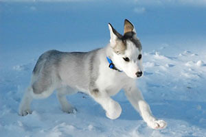 Canadian-top-10-expensive-dogs-Eskimo-Dog