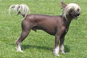 top-10-expensive-dogs-Chinese-Crested-Hairless