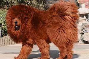 top-10-expensive-dogs-Red-Tibetan-Mastiff