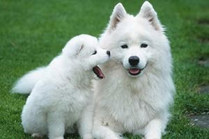 top-10-expensive-dogs-Samoyed