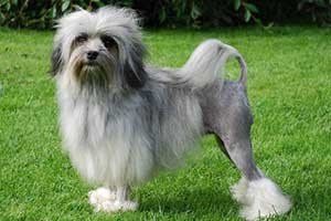 top-10-most-dangerous-countries-to-live-Lowchen-Dog