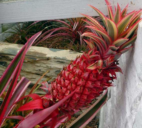 top-5-most-expensice-fruit-in-world-red-pineapple
