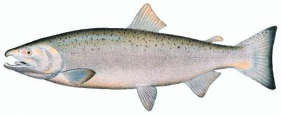 muskegon-coho-salmon