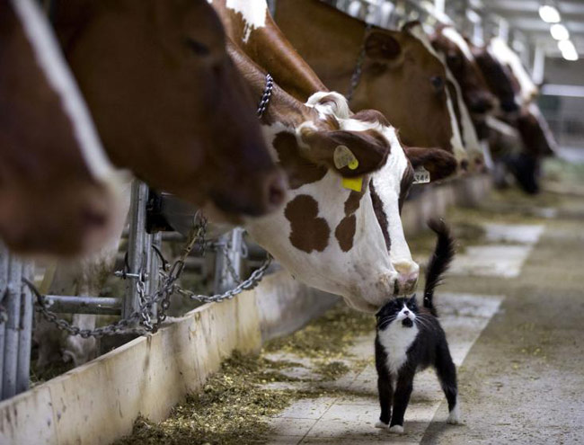 amazing-animal-photos-cow-and-cat