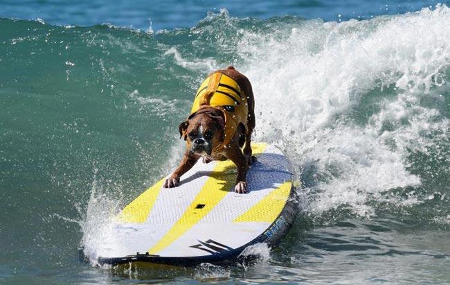 amazing-animal-photos-dog-surfing