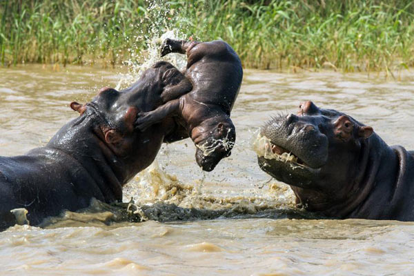 amazing-animal-photos-hippo