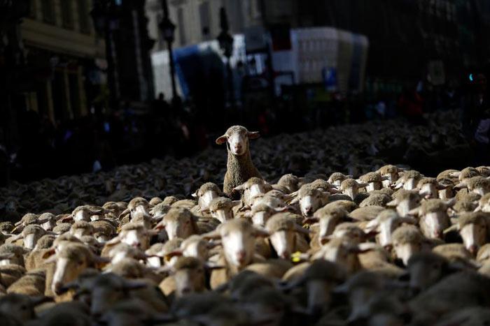 amazing-animal-photos-sheep-leader