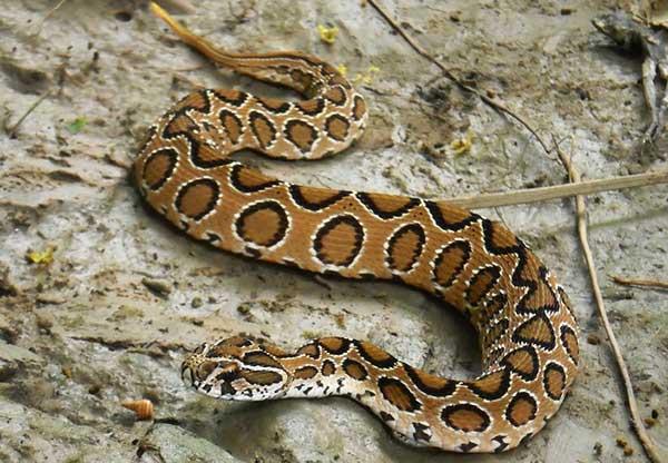 indian-russel-wiper-snake