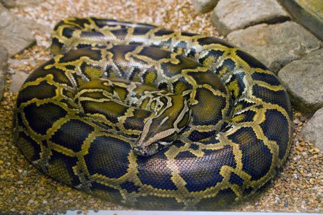 python-reticulatus-snakes