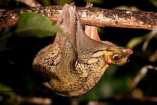 sunda-flying-lemur