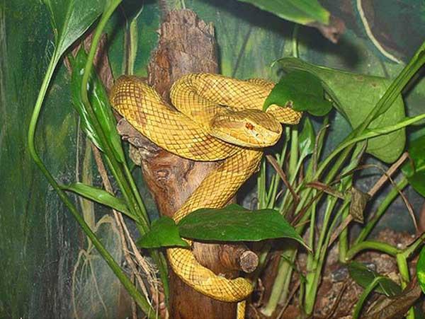golden-lancehead-snake-island-brazil