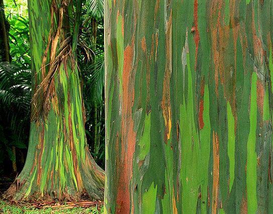 top-10-amazing-events-on-earth-Eucalyptus-deglupta-trees