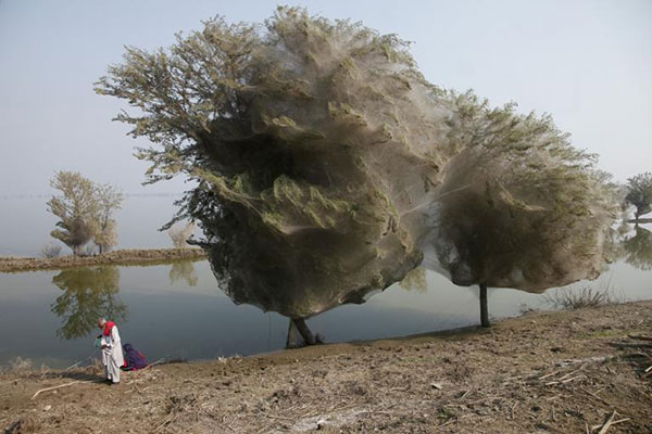 top-10-amazing-events-on-earth-spiderweb-cocooned-trees-in-pakistan