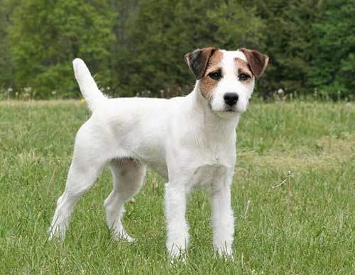 jack-russell-terrier-breed