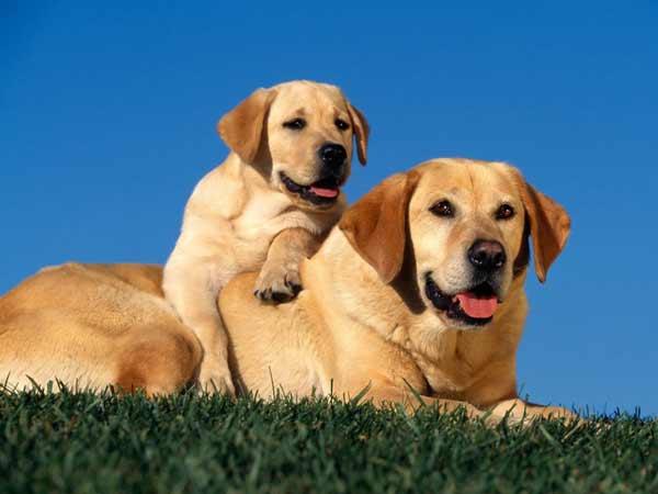 labrador-retriever-breeds नस्ल के कुत्ते
