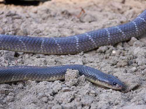 इंडियन क्रेट सापों की एक जहरीली प्रजाति है