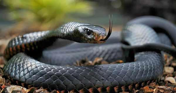 Black mamba snake facts