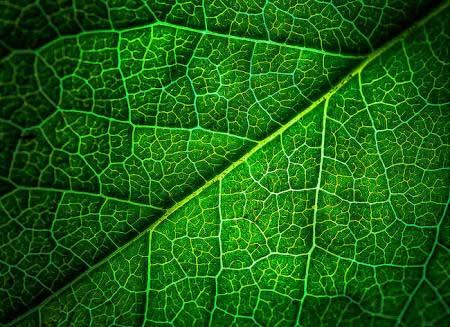 क्लोरोफिल के कारण पत्तों का रंग हरा होता है।
